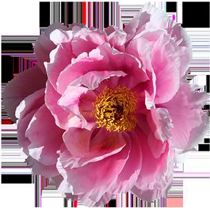 Suzzie Tapper blomma bakgrund